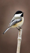 Song Birds Metal Prints - Chickadee Metal Print by Bill  Wakeley