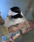 Jody Benolken - Chickadee Bird On A...