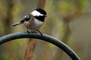 Laura Mountainspring - Chickadee Black Capped