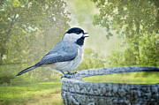 Gray Bird Prints - Chickadee  Print by Bonnie Barry