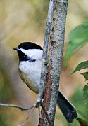 Black-capped Chickadee Greeting Cards Prints - Chickadee Print by Crystal Wightman