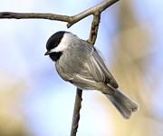 David Lester Photos - Chickadee by David Lester