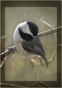 Black-capped Chickadee Greeting Cards Prints - Chickadee Early Bird I Print by Debbie Portwood