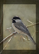 Black-capped Chickadee Greeting Cards Prints - Chickadee Early Bird II Print by Debbie Portwood