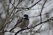 Wanda Jesfield - Chickadee in a Tree
