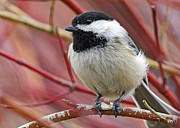 Stephen  Johnson - Chickadee in Red Twig...