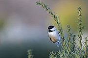 Jim Nelson - Chickadee