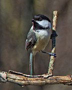John Crothers - Chickadee