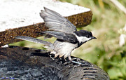 Ed Nicholles - Chickadee Leaving Bath