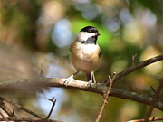 Teresa Cox - Chickadee on branch 1