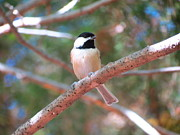 Teresa Cox - Chickadee on branch 2