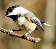 Ellen Ryan - Chickadee Ready for...
