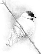 Finch Drawings Prints - Chickadee Print by Stan Cox