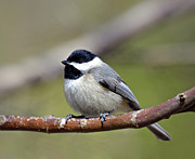 Chickadee Print by Susan Leggett