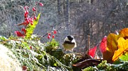 Virginia Pakkala - Chickadee three