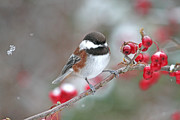 Red Birds In Snow Framed Prints - Chickadee with Red Berries in Falling Snow Framed Print by Peggy Collins