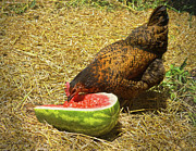 Mahogany Red Photo Prints - Chicken And Her Watermelon Print by Sandi OReilly