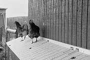 Daniel Kasztelan - Chicken inspectors