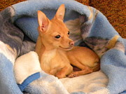 Puppies Photo Originals - Chicklet Feels Content by Karin Przybilski