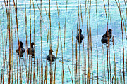 Metal Art Photography Posters - Chicks in Water with Reeds on the Outer Banks II Poster by Dan Carmichael