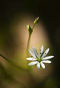 Marty Saccone - Chickweed Blossom and Bud
