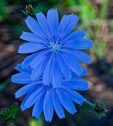 Cvnp Prints - Chicory 2 Print by Claus Siebenhaar