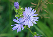 Lettuce Photo Originals - Chicory Flower by Gerry Bates