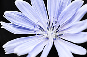 Edible Framed Prints - Chicory flower macro Framed Print by Elena Elisseeva