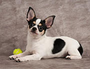 Miniature Photo Originals - Chihuahua and yellow ball by Konstantin Gushcha