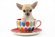 Puppies Digital Art Posters - Chihuahua in Cup DP684 Poster by Greg Cuddiford