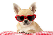 Dogs Digital Art Framed Prints - Chihuahua in Heart Sunglasses DP813 Framed Print by Greg Cuddiford