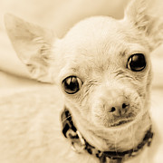 Abandoned Pets Posters - Chihuahua Poster by Jak of Arts Photography