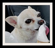 Licking Ice Cream Posters - Chihuahua keeps cool on a hot day Poster by Gail Matthews