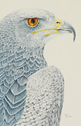 Katharine Green - Chilean Blue Eagle