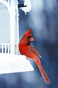 Red Cardinal Framed Prints - Chilly Cardinal Blues Framed Print by Bill Tiepelman