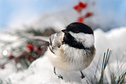 Bird Portrait Posters - Chilly Chickadee Poster by Christina Rollo