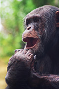Chimpanzee Photo Posters - Chimpanzee Poster by Angela Doelling AD DESIGN Photo and PhotoArt
