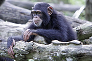 Chimpanzee Playing Print by Shoal Hollingsworth