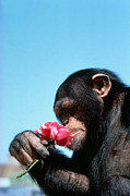 Tom McHugh - Chimpanzee