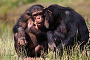 Nick  Biemans - chimpanzees eating a carrot