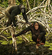 Chimpanzee Digital Art Prints - Chimpanzees In Mangrove Print by Owen Bell