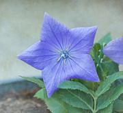 Kim Hojnacki - Chinese Bell Flower