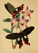Butterfly Drawings Framed Prints - Chinese Butterflies Framed Print by Unknown
