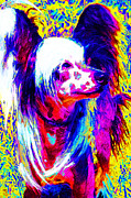 Toy Dog Digital Art Posters - Chinese Crested Dog 20130125v1 Poster by Wingsdomain Art and Photography