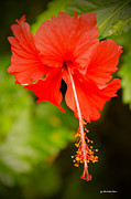 Chinese Hibiscus Print by Christopher  Ward