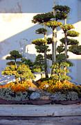 Carolyn Stagger Cokley - chinese juniper