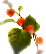 Chinese Lanterns Prints - Chinese lanters Print by Ian Hufton