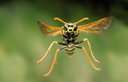 Animals And Insects Photos - Chinese Paper Wasp by Michael Durham