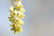 Winter Flower Photos - Chinese Winter Hazel by Anne Gilbert