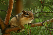 Chipmunk Photos - Chip by Shane Holsclaw